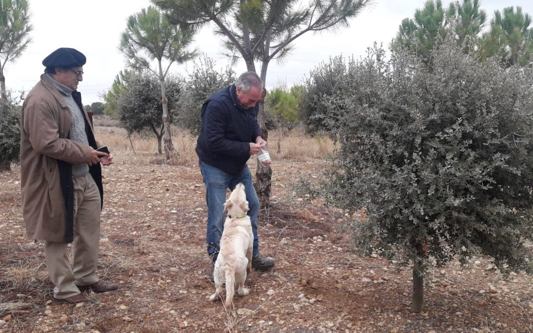 Las primeras trufas negras en Palencia, exponente de la brillante expansión de la truficultura en el cerrato